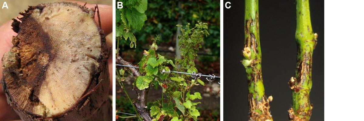 Symptomen Eutypa dieback en Phomopsis dieback