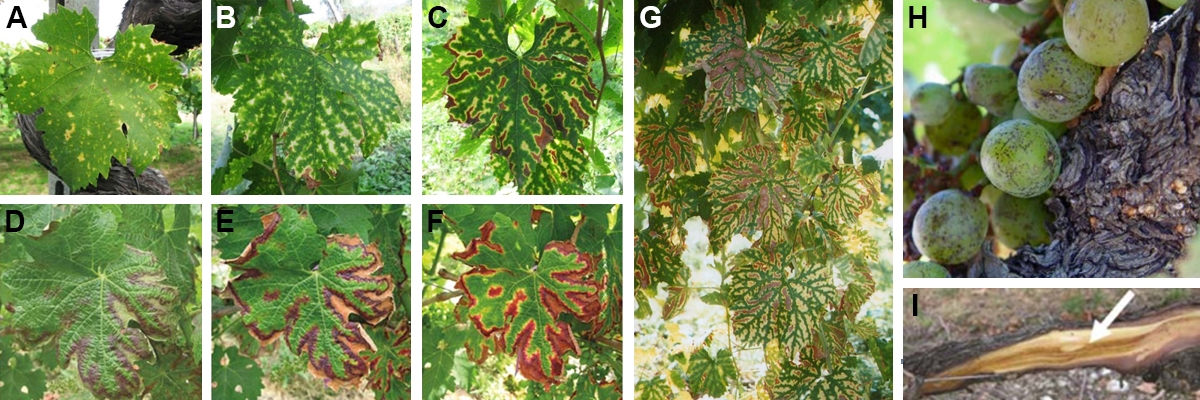 Symptomen van grapevine leaf stripe disease