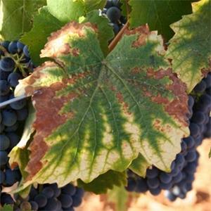 Symptomen magnesium tekort van de wijnstok. Het blad vertoont chlorose waarbij het groen van het blad uitloopt in punten.