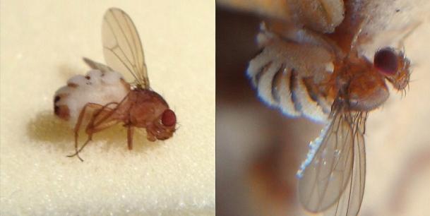 Wilde Drosophila gedood door Entomophthora muscae schimmel