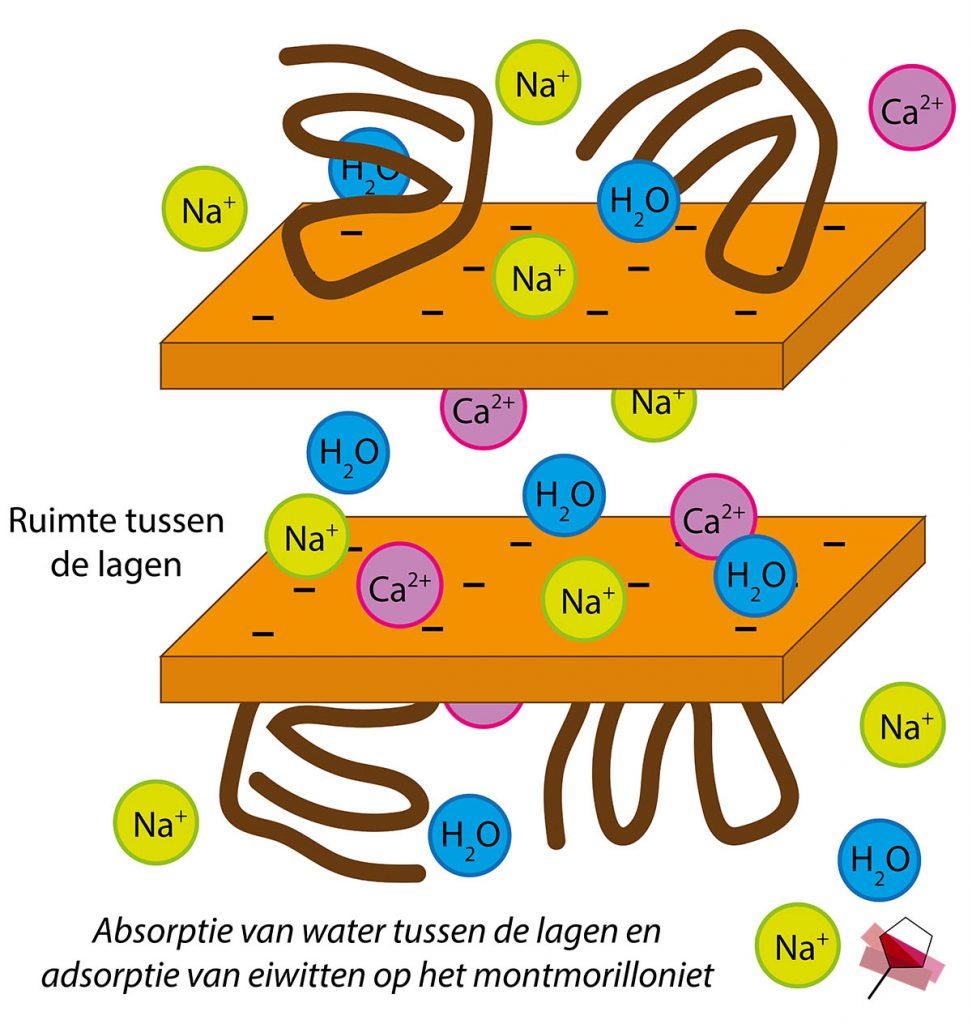 Absorptie van water tussen de lagen en de adsorptie van eiwitten op de montmorillonietlagen.