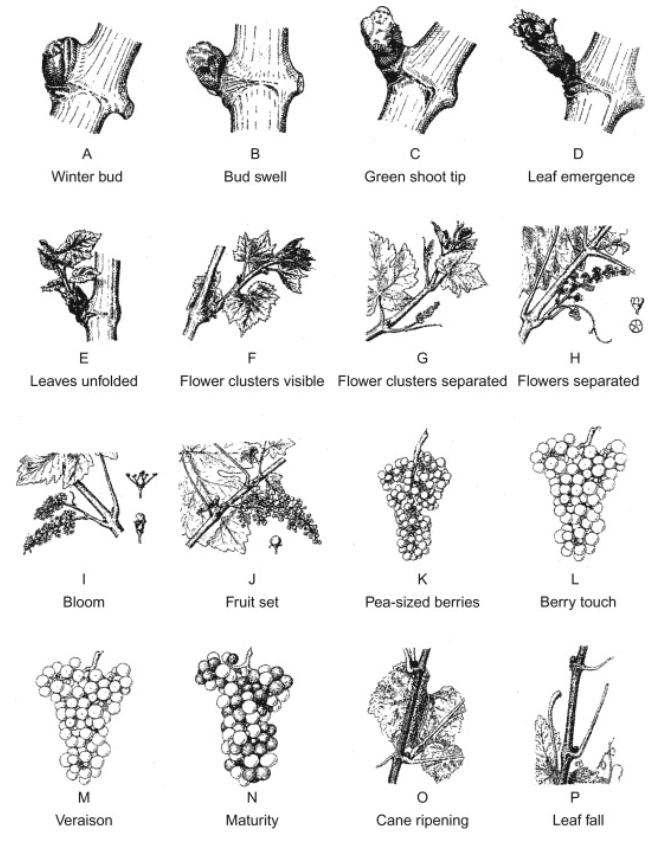 De groeistadia van de wijndruif volgens Baillod en Baggiolini (1993)