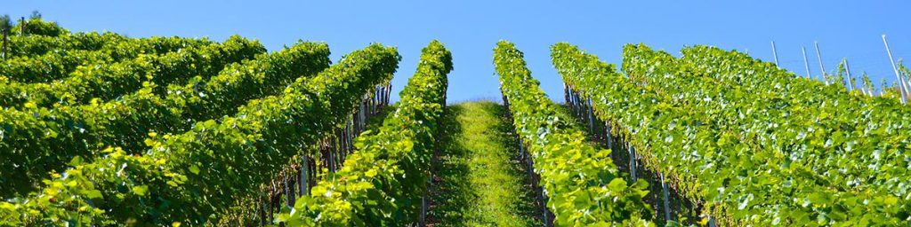 Vineyard rows uphill