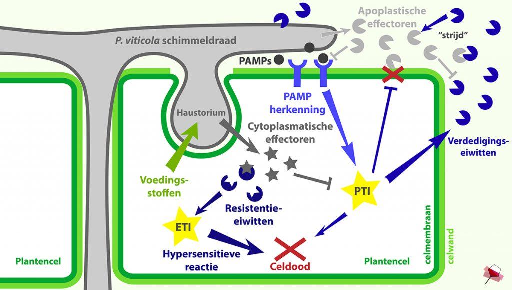Interactie tussen de door P. viticola geproduceerde effectoren en het immuunsysteem van de plantencel.