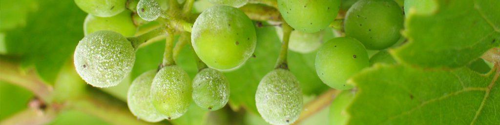 Echte meeldauw op druiven